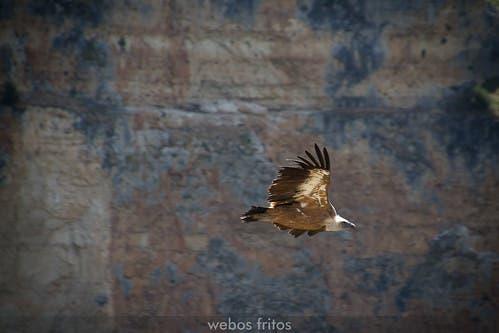 El vuelo del buitre sobre el Duratón