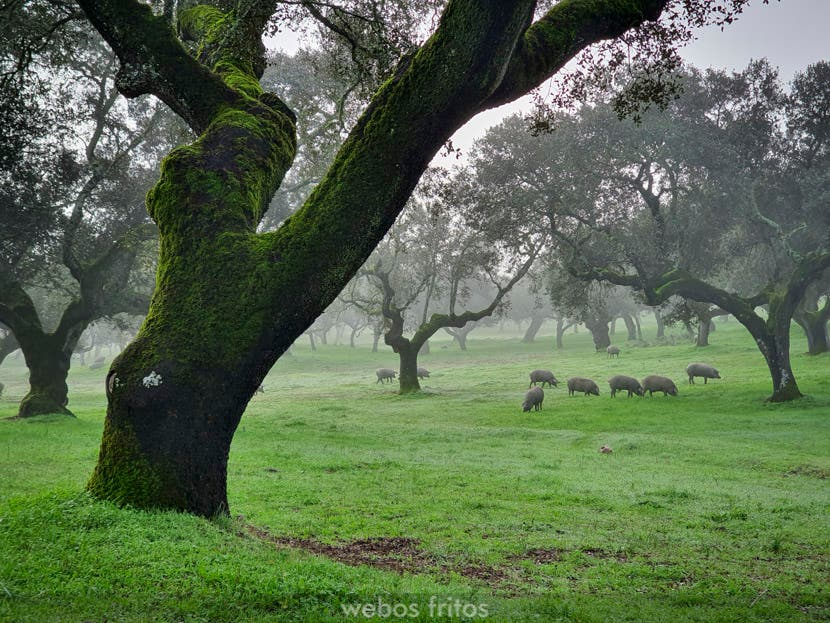 Joselito, una visita a sus cerdos en la montanera